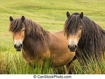 Pair Of Exmoor Ponies  - Exmoor Pony