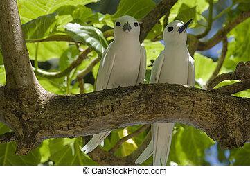Pair of fairy (white) terns, Gygis alba, Seychelles