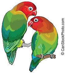 pair of fischer's lovebirds (agapornis fischeri ). Two small...