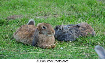 Pair of fuffy rabbits lying on lawn.
