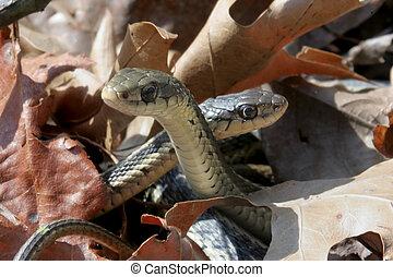 Pair of Garter Snakes