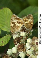 Pair of Gatekeeper butterflies, Pyronia tithonus, on bramble flowers