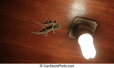 Pair of Gecko lizards sitting on the ceiling and hunts on...