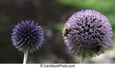Pair of Globe Thistles (echinops ritro) in garden + honeybees - close up