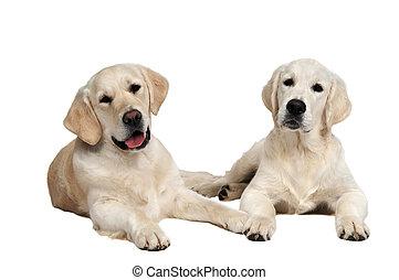 pair of golden retriever dog