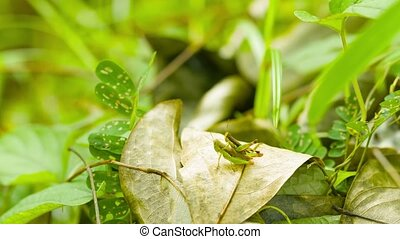 Pair of grasshoppers in the tropical woods - Video UHD -...