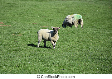 Pair of Grazing Sheep in the Springtime
