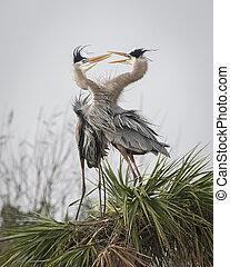 Pair of Great Blue Herons Displaying Courtship Behaviour - Florida