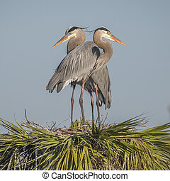 Pair of Great Blue Herons Perched on Their Nest