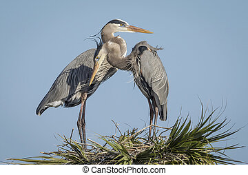 Pair of Great Blue Herons Perched on  Top of a Palm Tree