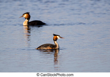 Pair of Great Crested Grebe (podiceps cristatus) swimming