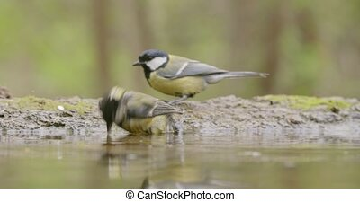 Pair of great tit cleaning feathers and bathing on waterside...