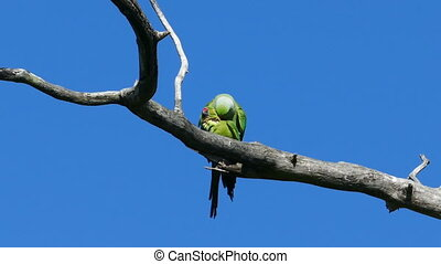 pair of green parrots copulate on tree branch