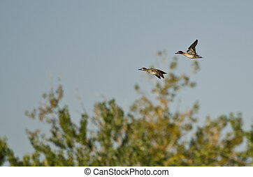 Pair of Green-Winged Teals Flying Over the Marsh