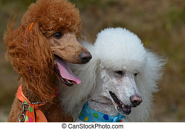 Groomed pair of standard poodles sitting together.