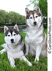 pair of husky dogs outdoors - Closeup pair of purebred...