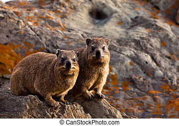 Pair of hyrax animals sitting on a rock