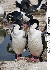 Pair of Imperial Shag