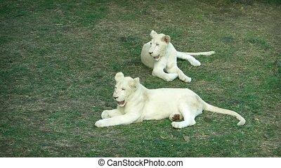 Two young lions with nearly white fur, resting in the grass at a safari park in Mauritius.
