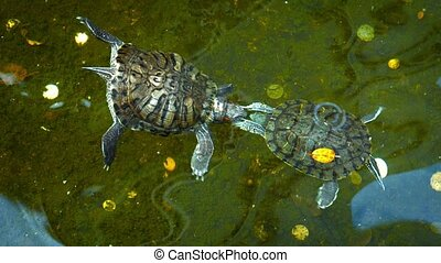Pair of Kissing Turtles in a Buddhist Temple Pond