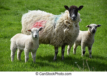 Pair of Lambs with their Mother in a Grass Pasture