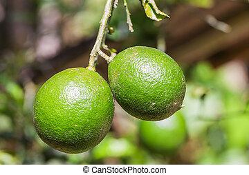 Pair Of Lemons