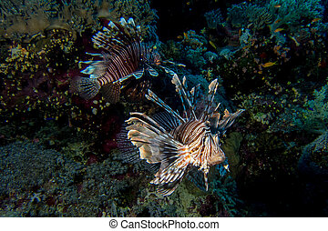Pair of lionfish