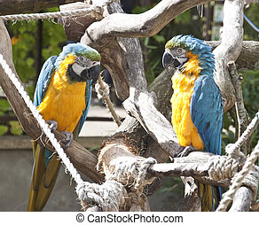 pair of macaws on a branch