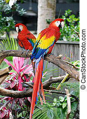 Pair Of Macaws - two bright red macaw parrots perched in a...