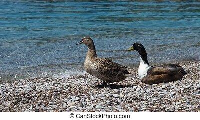 Pair of mallard ducks on pebble beach, male waking up