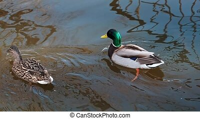 pair of mallard ducks swim in the water on a pond in nature