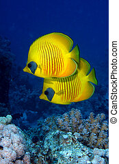 Pair of masked butterflyfish - Masked butterflyfish ...