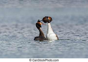 pair of mating great crested grebes (podiceps cristatus) dancing