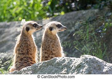 Pair of Meerkats is sitting on a rock