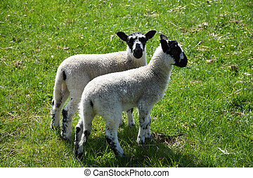 Pair of Mottled Lambs on a Farm in North Yorkshire England