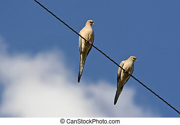 doves - pair of mournig doves on a wire