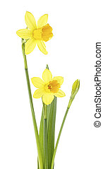 Pair of narcissus flower isolated on a white background. Spring flowers.
