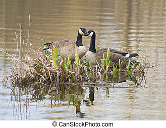 A pair of Canada Geese nesting on a small island.