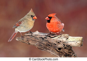Pair of Northern Cardinals (cardinalis) on a branch with a...