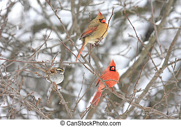 Pair of Northern Cardinals (cardinalis) perched on a branch