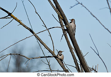 Pair of Northern Flickers Perched in a Tree