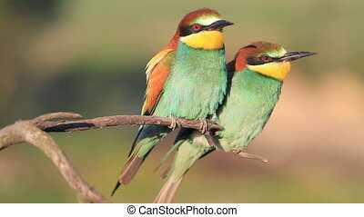 pair of paradise colored birds on a dry branch