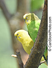 Pair of Parakeets Together Sitting in a Tree