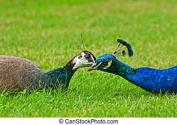 Pair of peacocks on the grass
