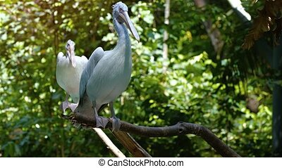 Pair of pelicans, perched awkwardly with their webbed feet on bare tree branches, as a gentle breeze stirs their feathers. Video 3840x2160