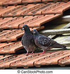 pair of beautiful pigeons standing on a damaged roof