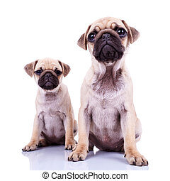 pair of pug puppy dogs sitting on white background. cute and...
