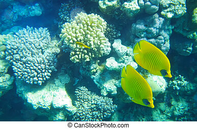 Pair of Racoon butterfly fish underwater red sea