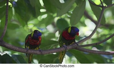 Pair of Rainbow Lorikeets on a Branch. Full HD 1080p footage