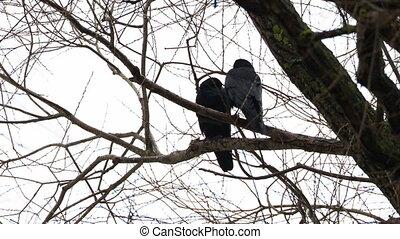 Pair of ravens sits on tree. One big black bird defecates.
